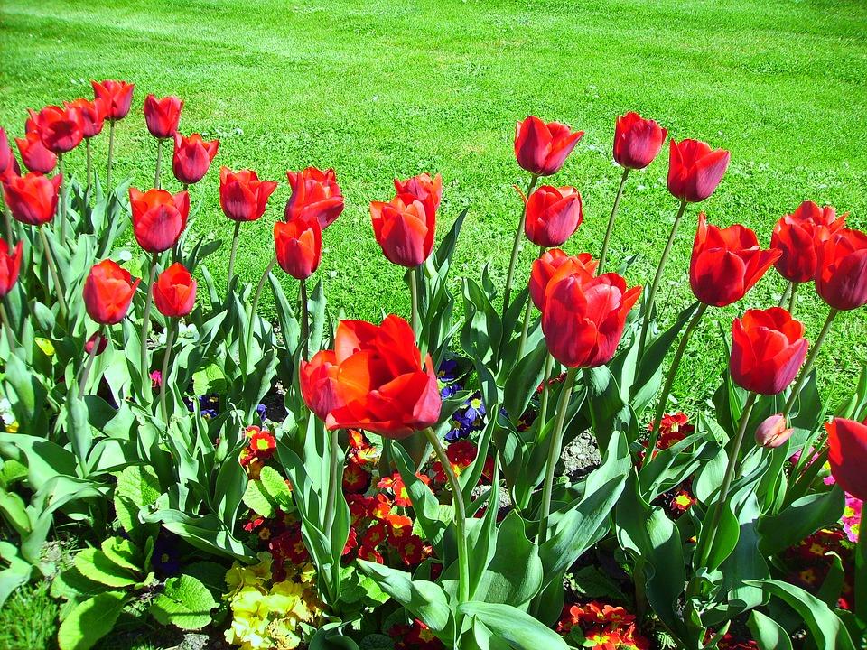 záhon tulipánů